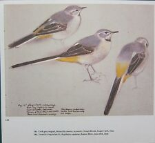 BEAUTIFUL VINTAGE BIRD PRINT ~ MALE GREY WAGTAIL IN MOULT