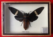 REAL HUGH TOSENA FASCIATA BROWN WING CICADA BEETLE TAXIDERMY FRAMED INSECT