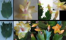 One-two-segment long boutures de 2 jaune christmas cactus schlumbergera