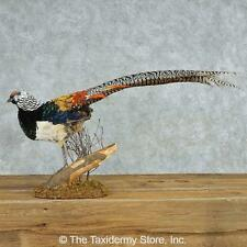#13528 E | Standing Lady Amherst's Pheasant Life Size Taxidermy Bird Mount