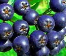 Aronia tree blueberry flavored fruit on shrub size Hardy berry juice LIVE PLANT