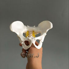 Female Pelvis Skeleton Bone Model - Anatomical Human Medical Anatomy Small Size
