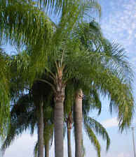 Lot of 25 live Queen Palm Tree - Syagrus Romanzoffiana Bare-root seedling.