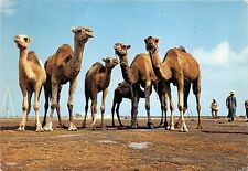 BG20810 tunisia chameau camel  pose for a snap shot types folklore