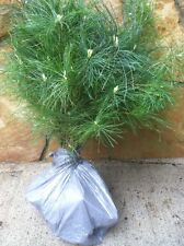 QTY-15 Appalachian white pine starter 10-13in evergreen transplant saplings #GNB