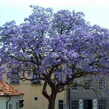 50pcs Worlds Fastest Growing Tree Princess Tree Paulownia Tomentosa Seeds