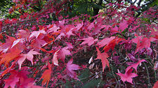 Acer Palmatum, special Offer, 10 seeds, plus extra free packet of other acer.
