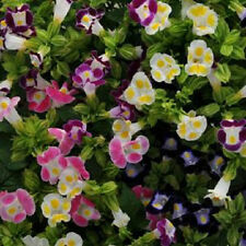 Torenia Seeds Kauai Mix Seeds 50 Pelleted Seeds