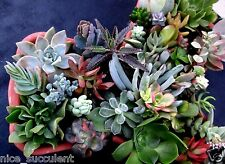 40 Different SUPERB Succulent Cuttings, Healthy and Fresh, Colorful & Unique