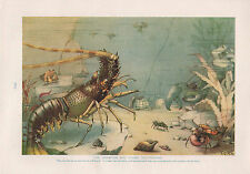 1911 NATURAL HISTORY DOUBLE SIDED PRINT ~ CEPHALOPODS / CRAWFISH CRUSTACEANS