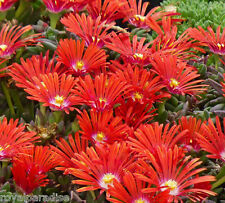 50 Seeds Delosperma Red Mountain Flame Cold Hardy Ice Plant