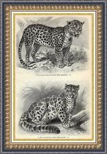 Antique print panther jaguar leopard felis onza cat cats 1906