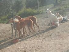 Please Buy a Scalibor Collar for a Galgo (Spanish Greyhound) at Pepis Dog Refuge