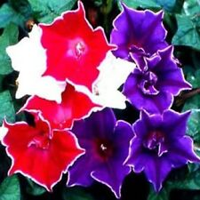 Morning Glory Kikyo-Zaki 10 Seeds Garden Seeds 2u