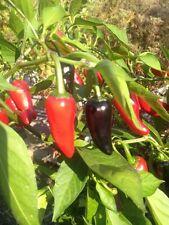 Tazmanian Black schwarze Chilli mittelscharfe Chili aus Tasmanien Australien