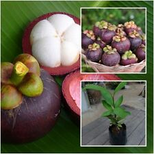 "Mangosteen Tree plant grafted ""Mangkhud"" Tall 20"" delicious Fruit From Thailand"