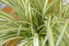 Indoor Plant -House or Office Plant -Chlorophytum - Indoor Spider Plant