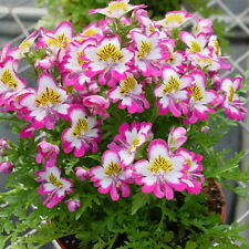 30pcs Schizanthus Seeds Schizanthus Pinnatus Original Packaging Seed