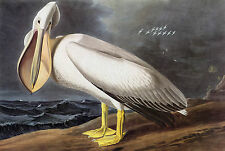 Audubon Reproductions: Watercolor Study: White Pelican, c.1832 -  Fine Art Print