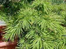 GOLDEN LARCH (Pseudolarix Amabilis) 10 seeds (#108)