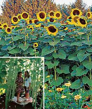 SUNFOREST SUNFLOWER MIX / GROW FAST GROWING SUNFLOWER FOREST OF TOWERING GIANTS!