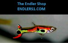 "Endlers Livebearer ""guppy"" fish, Pure Strain (N Class): THE ENDLER SHOP"
