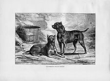 Stampa antica CANI TERRIER INGLESI English Terrier 1879 Old print dog