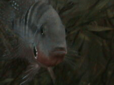"""[12) .5""""  Firemouth Cichlid """" Thorichthys Meekie """" Live Freshwater Tropical Fish"""