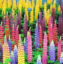 100 X Mixed Russell Lupine Seeds Lupinus Beautiful Polyphyllus Flower Garden H7