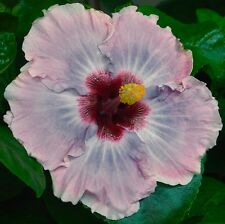 """PROM DRESS Tropical Hibiscus -- Plant in 4.5"""" pot"""