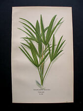 1896.Edward STEP:TRACHYCARPUS EXCELSUS.BOTANICAL PRINT.