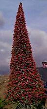 Die beeindruckenste Pflanze der Welt ! Riesiger Roter Teide-Natternkopf - Samen