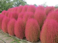 KOCHIA SCOPARIA burning bush 250 seeds Exotic * Ornamental * easy grow * #1A28#