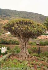Kanarischer Drachenbaum Dracanea draco 5 Samen