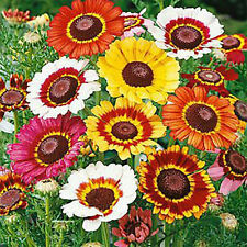 Tricolor Painted Daisy Mix 250 seeds Chrysanthemum carinatum * Colorful *#1C56
