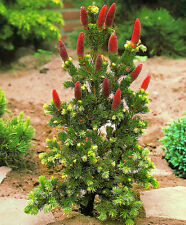 Picea  pungens Lucky Strike Colorado Spruce- grafted  in 7cm pot bonsai subject