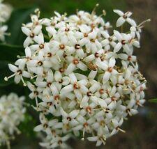 Roughleaf Dogwood (Cornus drummondii) USA native flowering tree/shrub 30 seeds
