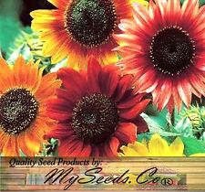 (80) EVENING COLORS Sunflower seed - Red Yellow Orange & Multicolored  Comb. S&H
