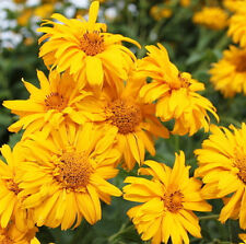 Sunflower Heliopsis Seed 50 Seeds Heliopsis Helianthoides Flower Garden Hot A085