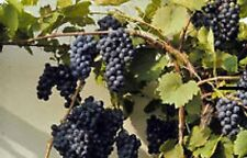 Sale Organic Canadian Wild Grape Vitis Riparia 10 seed Used for wines,jams,pies