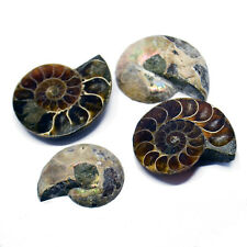 Polished Ammonite Fossil 110 million years old! Stocking Filler / Birthday Gift