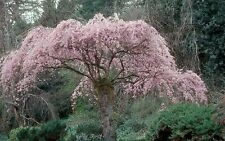 Prunus subhirtella Pendula WEEPING FLOWERING CHERRY TREE Seeds!