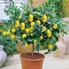 BONSAI - LEMON - DWARF LIVE PLANT WITH 15 FRUITS - BANGALORE AGRICO