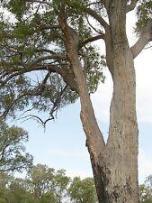 JARRAH (Eucalyptus marginata) 75 seeds
