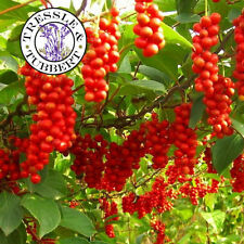 Rare Schisandra chinesis vine - 5 seeds - UK SELLER