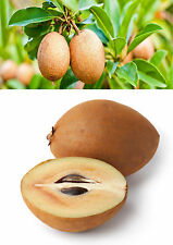 5 Fresh Sapodilla Seeds TASTY FRUITING Tropical Fruit Tree  Chicku