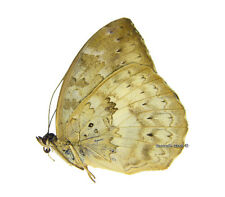 Unmounted Butterfly/Nymphalidae - Bebearia absolon absolon, FEMALE, CAR, A1/A-