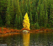 240 seeds Golden Larch tree pine wood pinus antifungal remedy Pseudolarix amabil