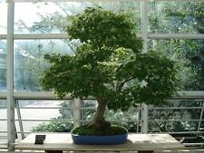 Bonsai -ACER PALMATUM 20 SEEDS- One of the best Red Japanese Maples