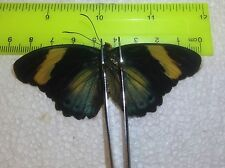 SALE TOG11 A+/ A  Euphaedra phasthusa Forester Papilio